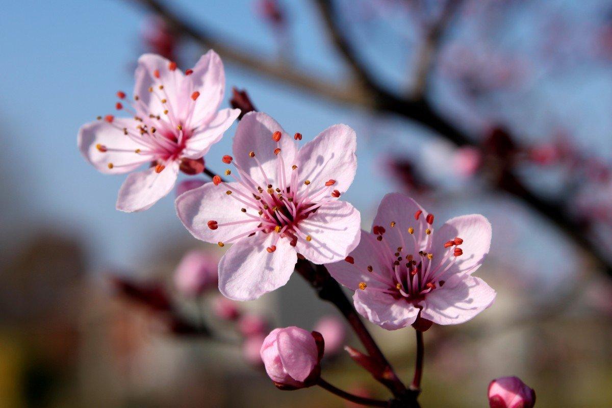 We Love Cherry Agravia