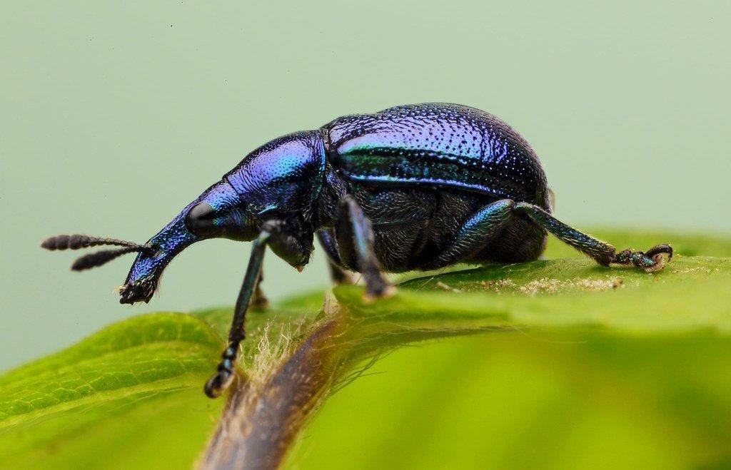 ΡΥΓΧΙΤΗΣ (Byctiscus betulae)