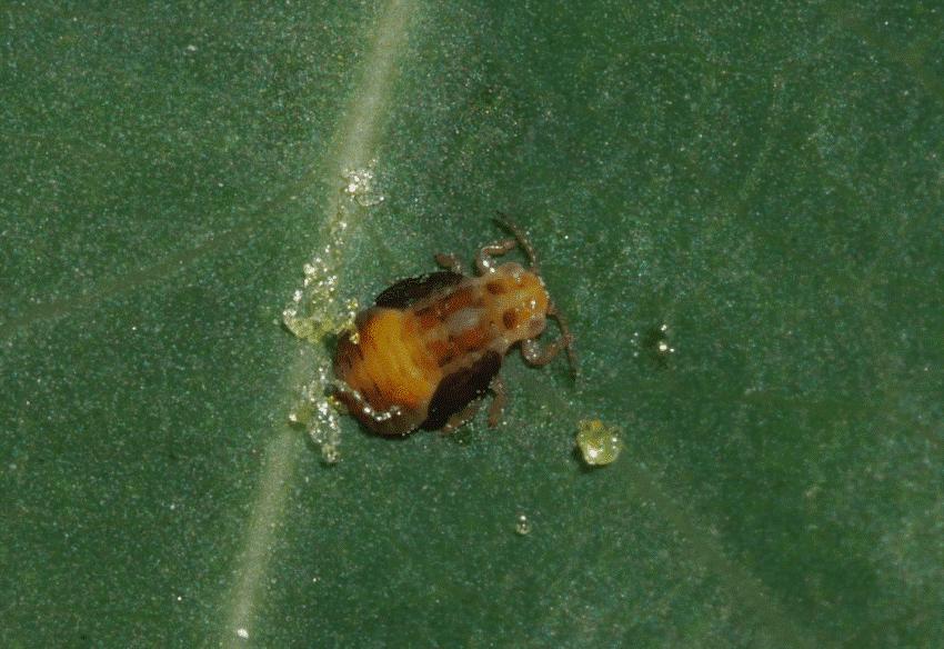 ΨΥΛΛΑ (Agonoscena pistaciae)