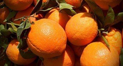 Εικόνα 2 Πορτοκάλια Salustiana (Salus)