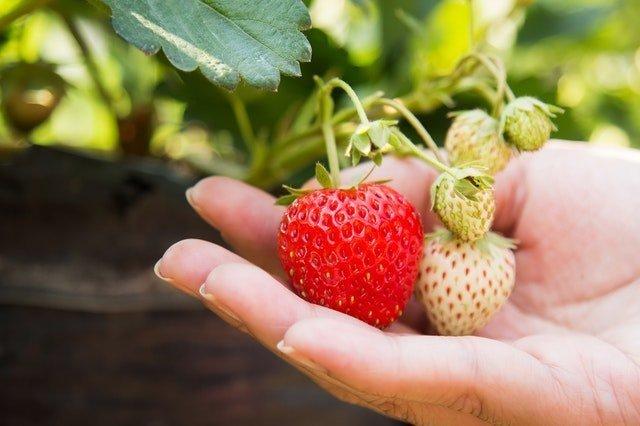 Φράουλες Φρούτο της Άνοιξης