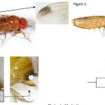 Drosophila Suzukii Novagreen
