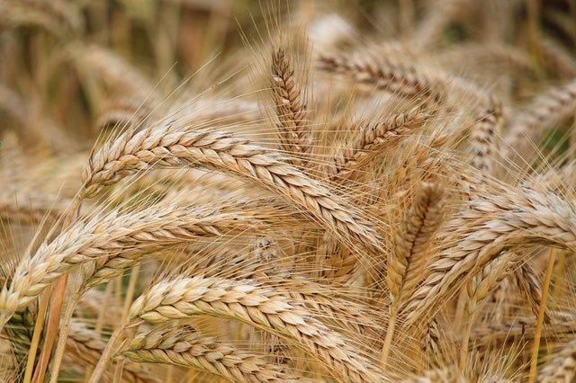 Καλλιέργειας Δημητριακών
