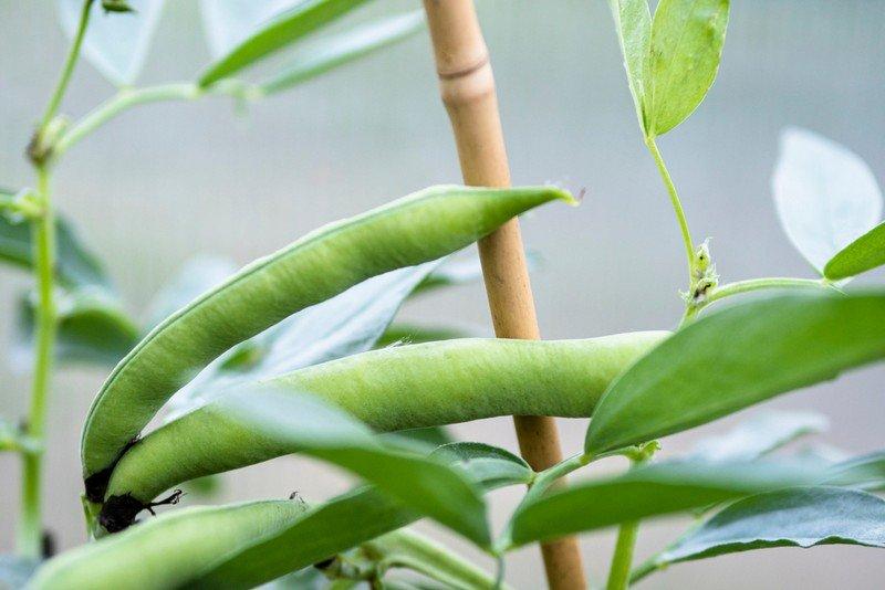 Καλλιέργεια Φασολιού