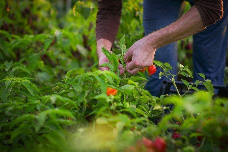 Καλλιεργεια Πιπεριας
