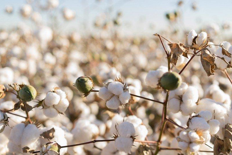 Φυτοπροστασίας Βαμβακοκαλλιέργειας