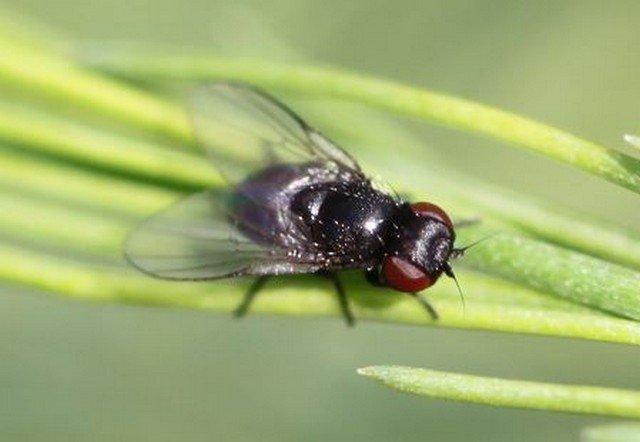 Ophiomyia simplex