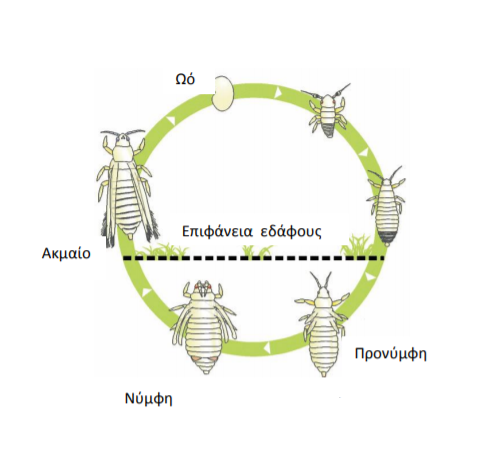 Βιολογικός Κύκλος του Θρίπα