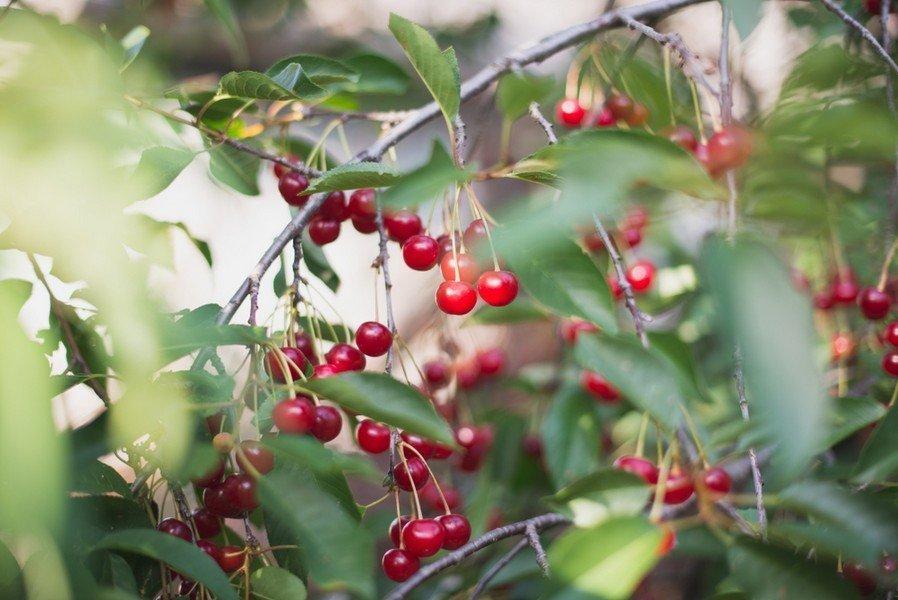 Μυστικα Καλλιεργεια Κερασιας