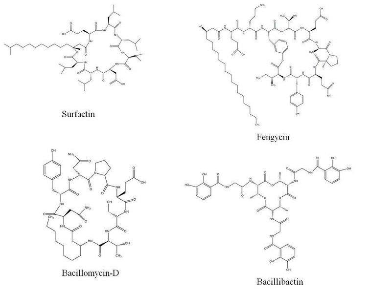 B. amyloliquefaciens