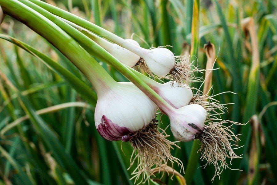 Καλλιέργεια Σκόρδου