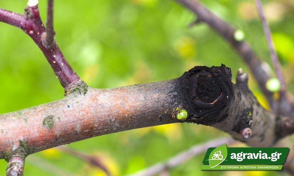 Botryosphaeriaceae