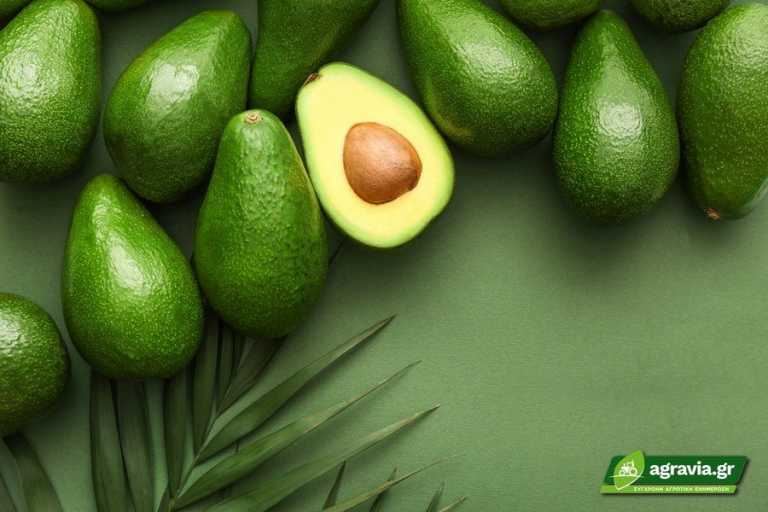 Φυτό Αβοκάντο Καλλιεργείστε το Δικό σας από ένα Κουκούτσι