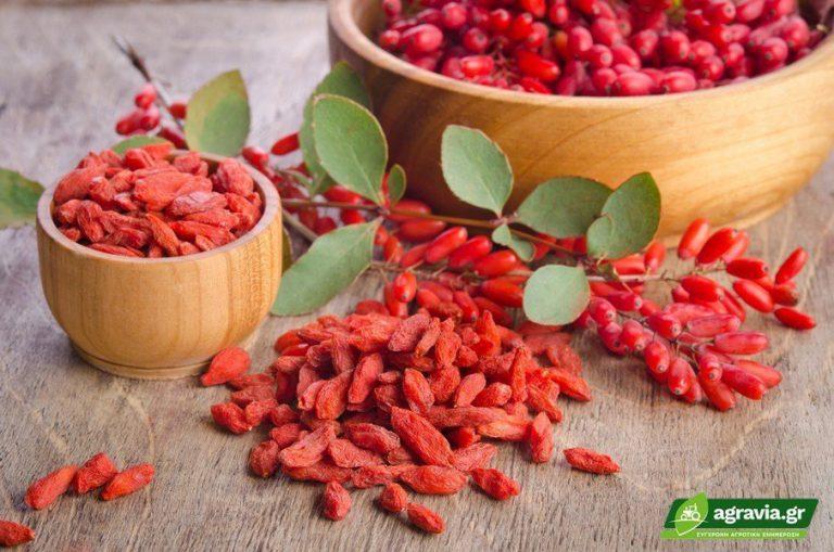 Goji Berry: Καλλιέργεια και Εδαφοκλιματικές Απαιτήσεις