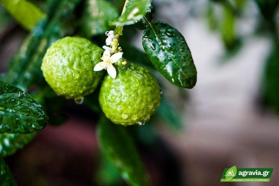 5 Μυστικά Καλλιέργεια Μεργαμόντο
