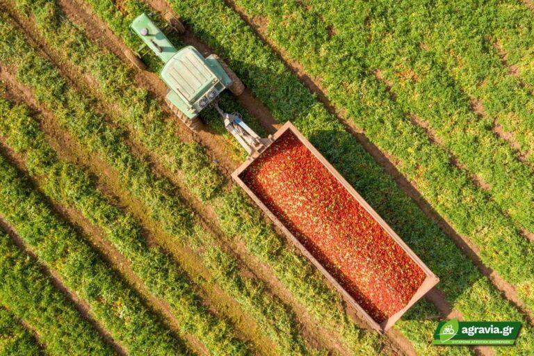 Αντίδραση Καλλιέργειας Τομάτας σε Μειωμένη Άρδευση