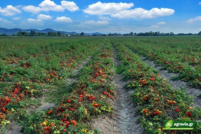 Αντίδραση Καλλιέργεια Τομάτας στην Ανάπτυξη και Αποδοτικότητα Νερού