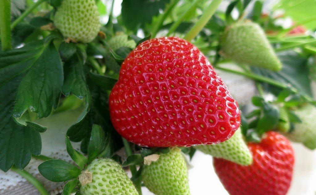 Βοτανικά Χαρακτηριστικά Φράουλας