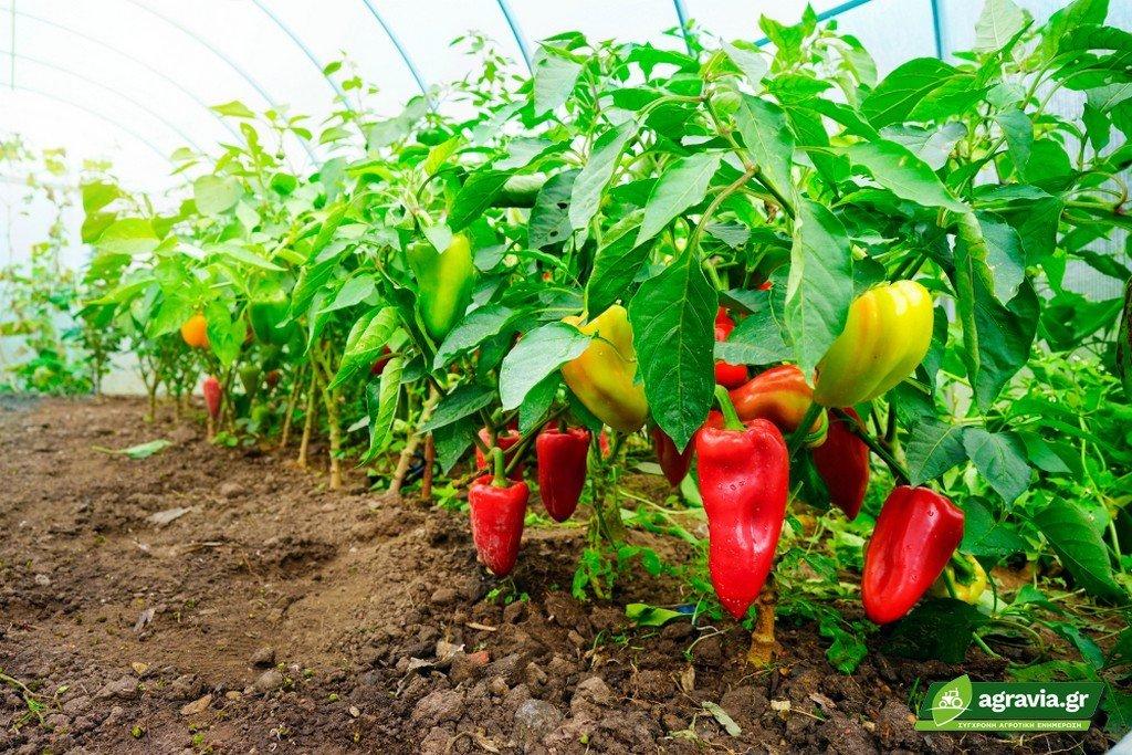Υδροπονική Καλλιέργεια Πιπεριάς