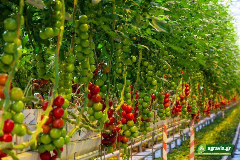 Γενικές Οδηγίες για Υδροπονική Καλλιέργεια Τομάτας